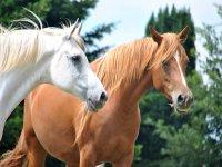 Due bellissimi cavalli