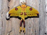 Argema Mitrei (Farfalla Cometa)
