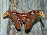 Attacus Atlas (Farfalla Cobra)