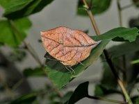 Kallima Paralekta (Farfalla Foglia)