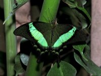Papillo Palinurus (Farfalla Smeraldo)