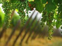 The vines that give us good wine