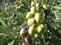 Apulian olive trees