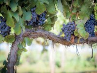 The Salento vineyards