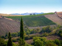 expanses of vineyards