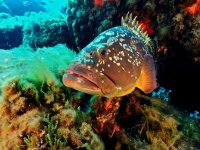 grouper verace