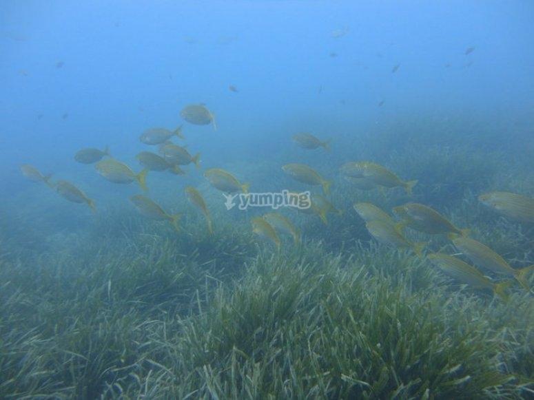 Branco di pesci/group of goldlines