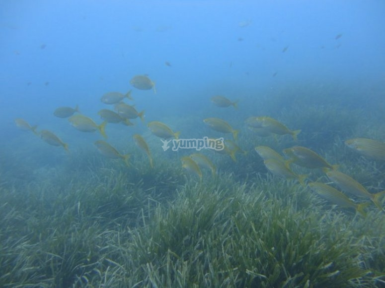 Shoal of fish / group of goldlines