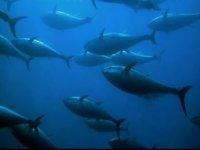 The fishing of the blue tuna