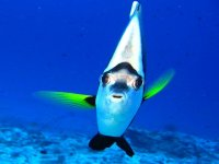 Flag butterfly fish