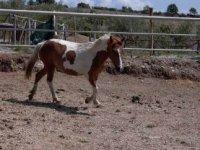 the Pony Briciola