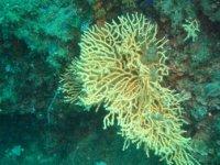 Coralli