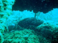 grouper on the wreck Bengal