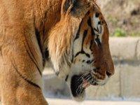 Una Bella Tigre