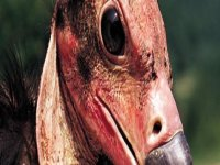 Avvoltoio reale indiano
