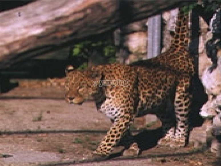 Leopardo dell amur
