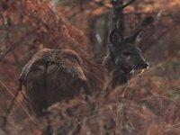 Cervo Mosco