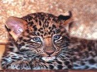 Leopardo dall amur