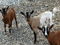 Goat Scramble
