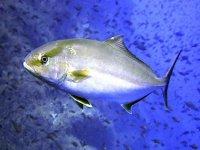 Pesce argentato