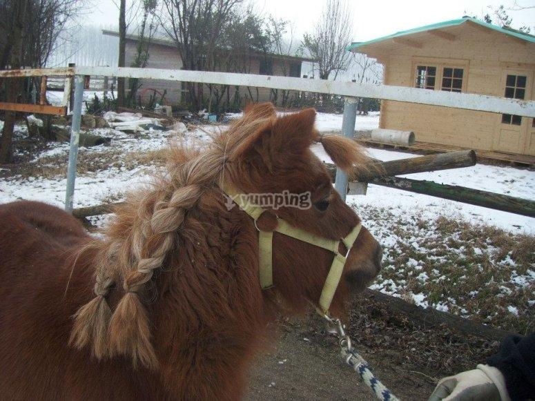 Bellissimi Ponies