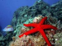 Rossa stella di mare