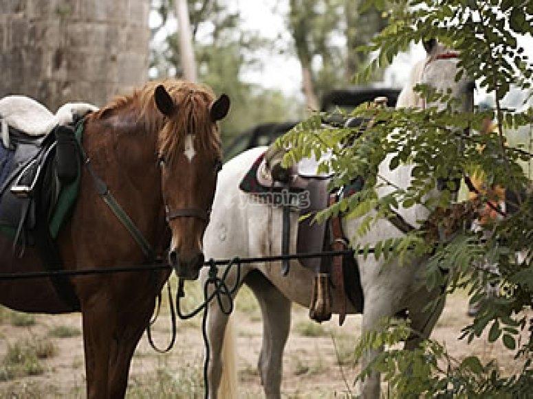 Cavalli addestrati
