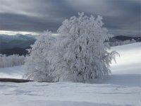 alberi ghiacci