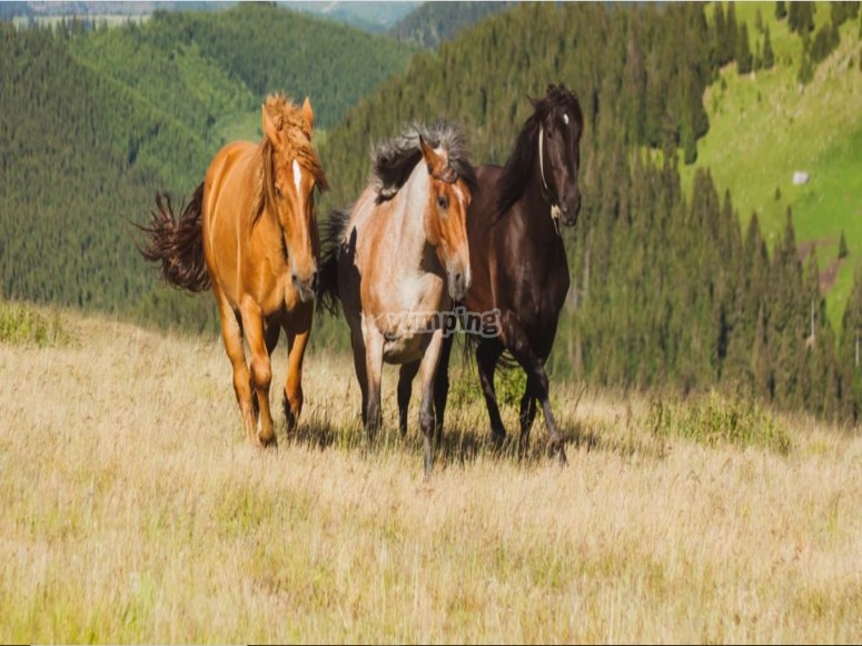 Horses free in nature