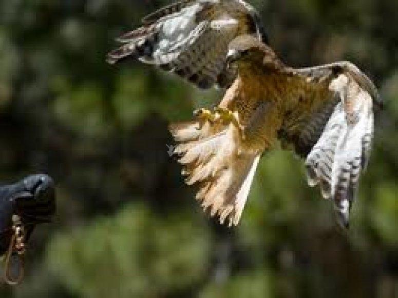 Spettacolo di falconeria
