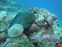 Moray at the Maldives