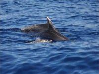 delfini nel mare della sardegna