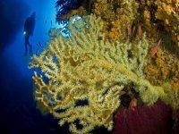 Coralli di Ustica