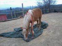 Il cavallo nel enclosure