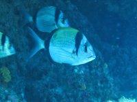 I pesci che conoscerai duranrte le immersioni