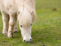 Piccolo pony