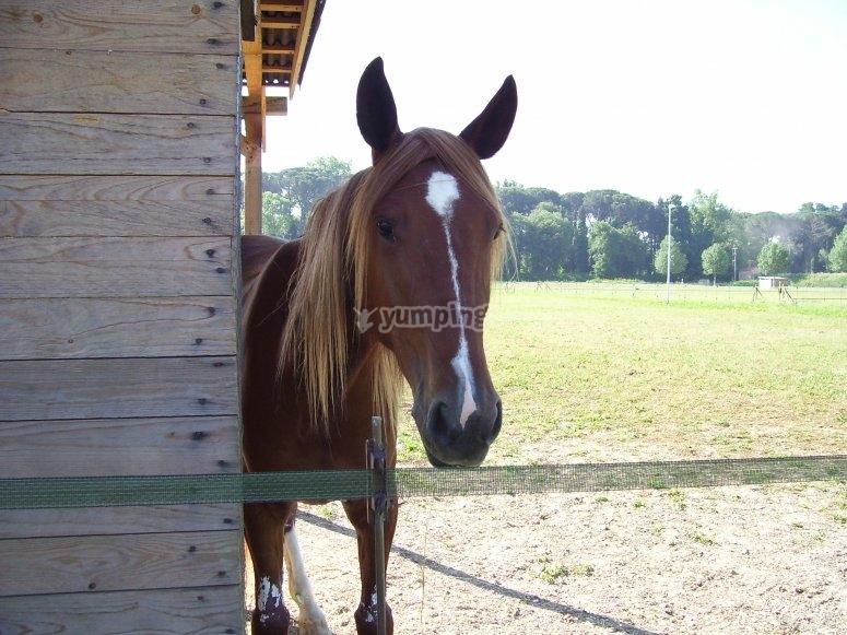 Cavallo affacciato alla stalla