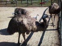 L Emu