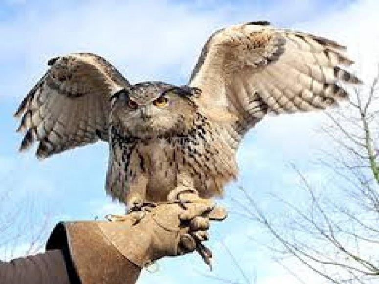 la falconeria, il gufo