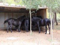 All black horses