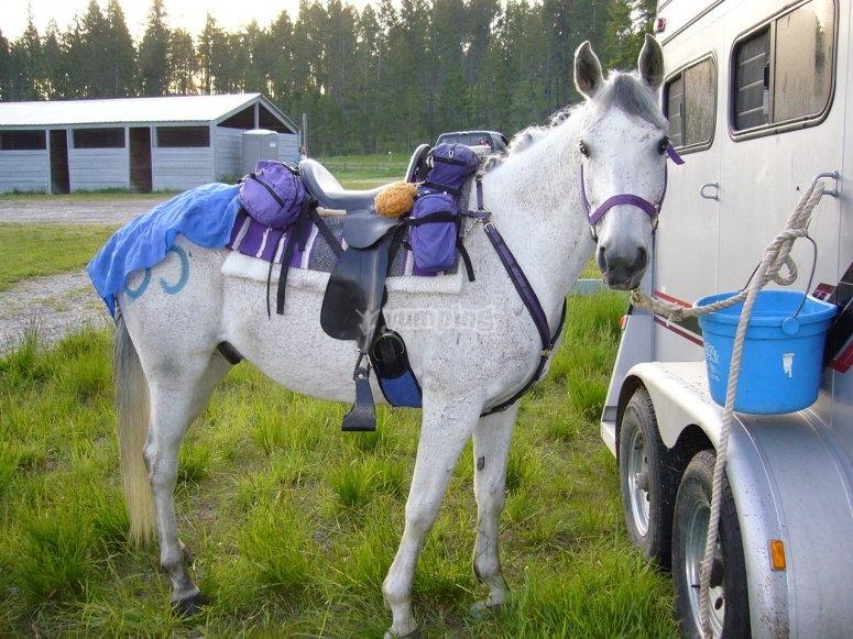 Cavallo sellato e pronto a partire