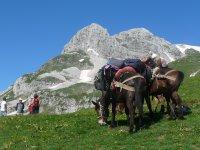 Trekking with mules