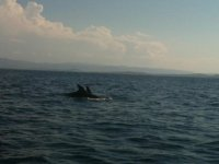 Delfini in Tavolara