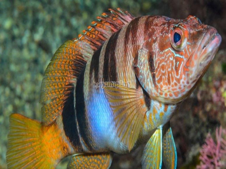 Sciarrano fish