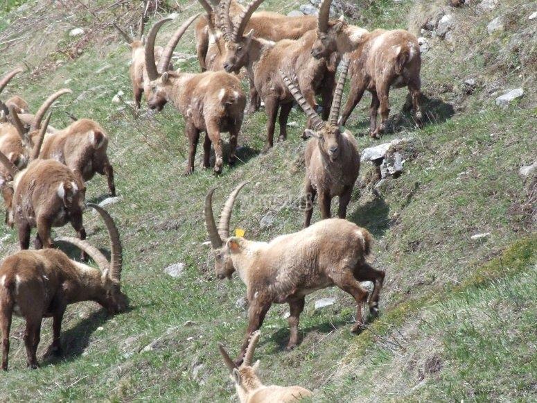 Massif and ibex