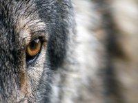 Un bellissimo lupo