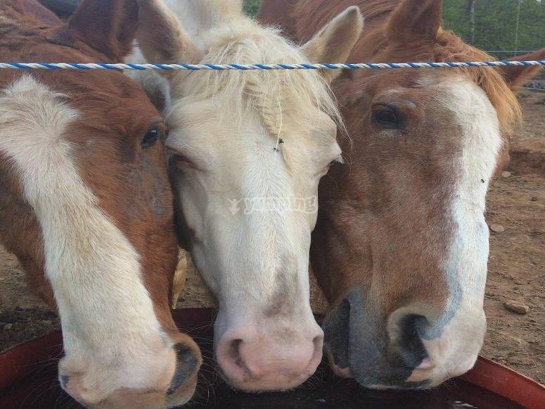 musoni dei cavalli