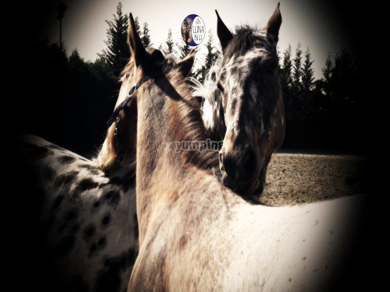 Unione tra cavalli