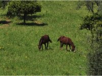 Cavalli e pascolo