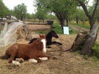 Cavalli a riposo
